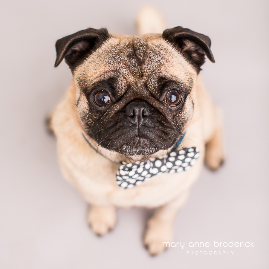 Download Pug Canine Adorable Dog - cute-pug-mary-anne-broderick-bud1  Snapshot_621746  .jpg