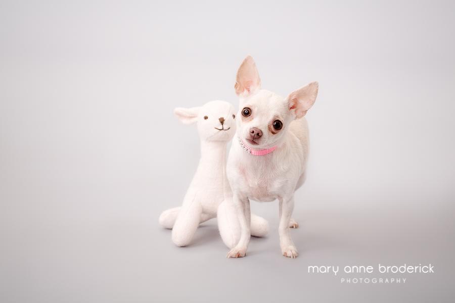 cute_chihuahua_maryanne_broderick-1
