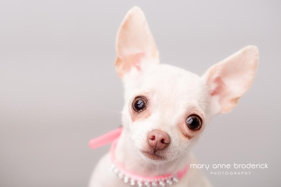 cute_chihuahua_maryanne_broderick-8