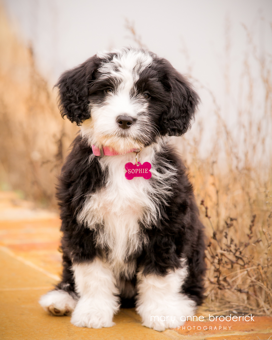 portugese_water_dog_sophie-1