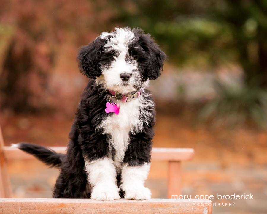 portugese_water_dog_sophie-14