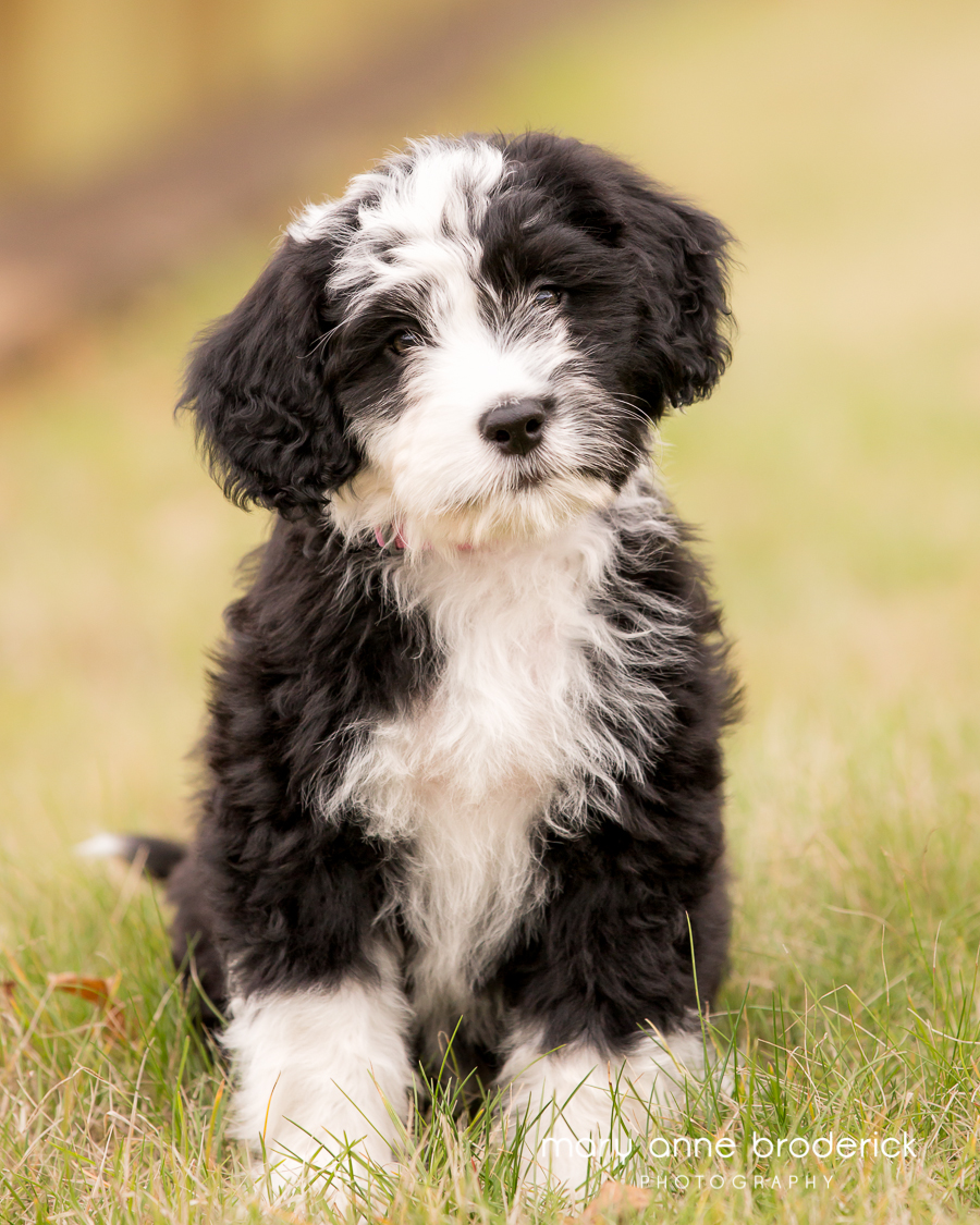 portugese_water_dog_sophie-4