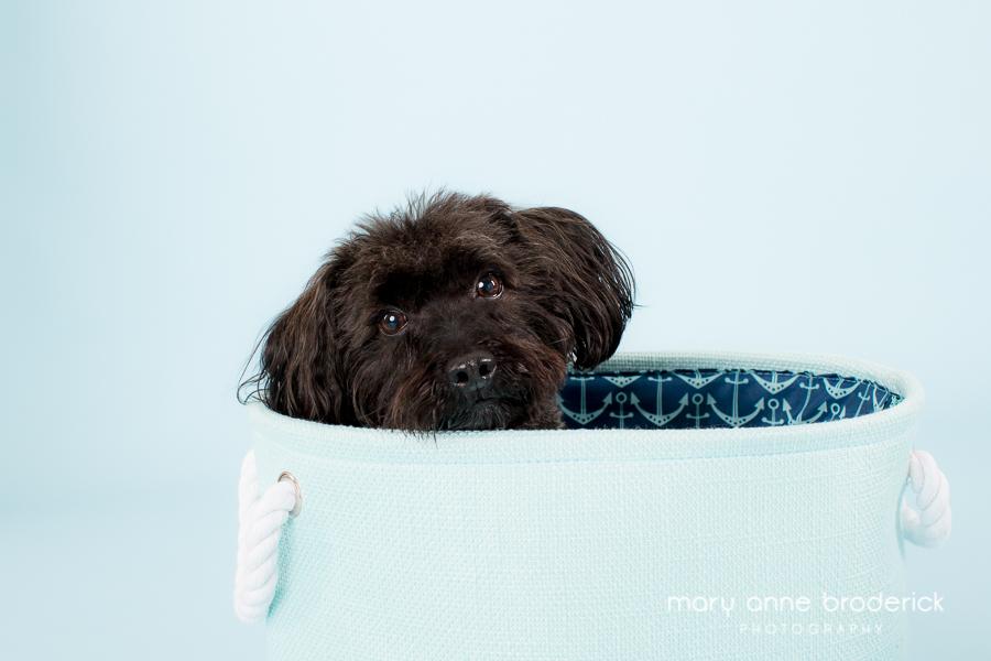 toy_poodle_romeo-2