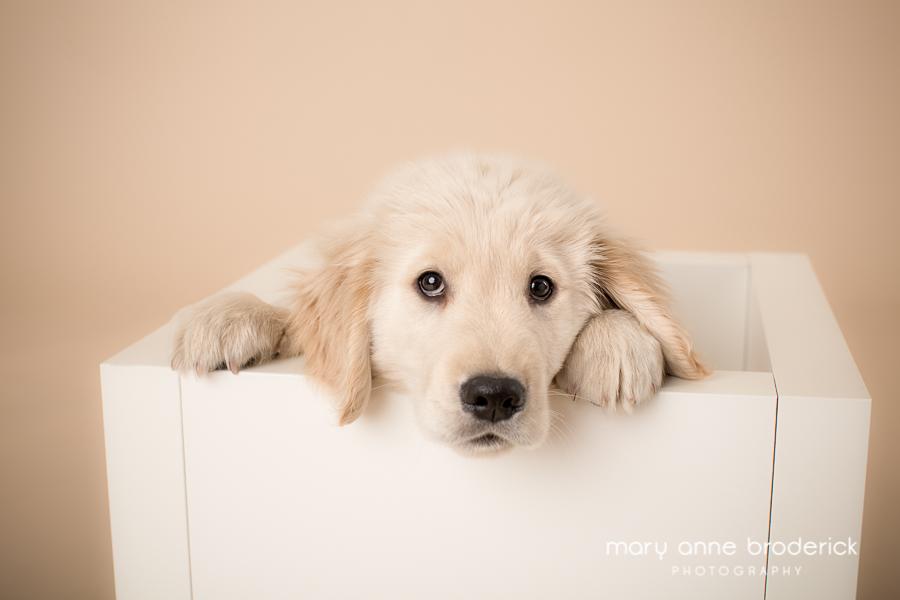 golden_retriever_puppy-1