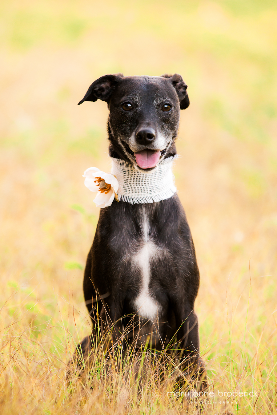 whippet_lilly-4