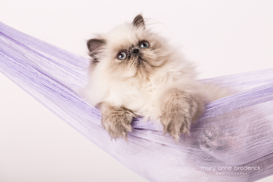 blue_cream_point_persian-1