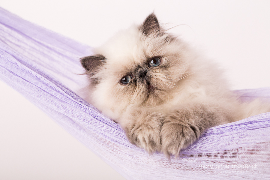 blue_cream_point_persian-2