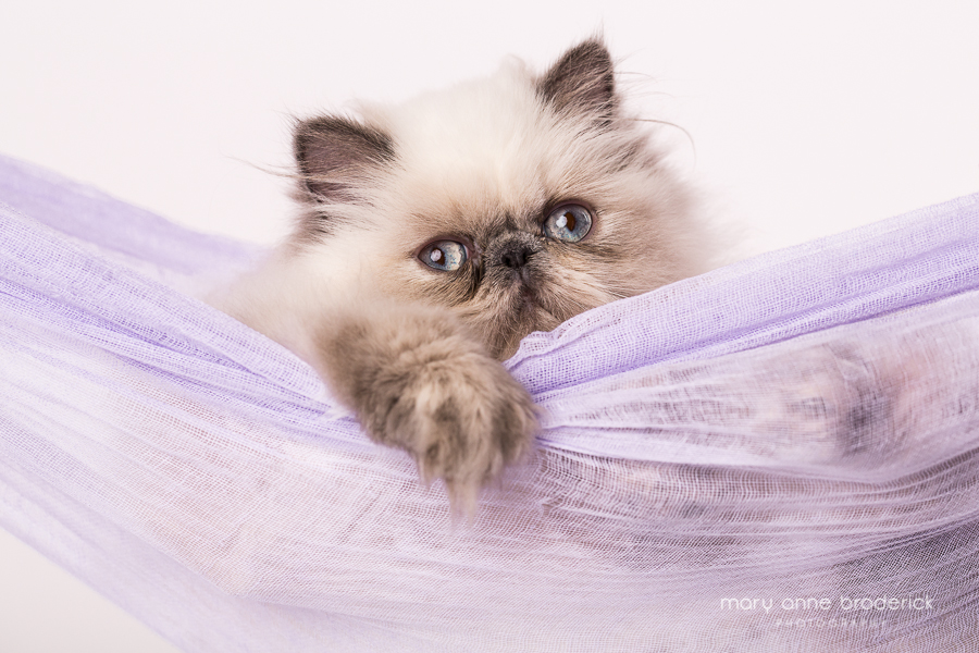 blue_cream_point_persian-3